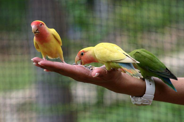 Jenis Pakan yang Bisa Buat Burung Lovebird Cepat Bertelur
