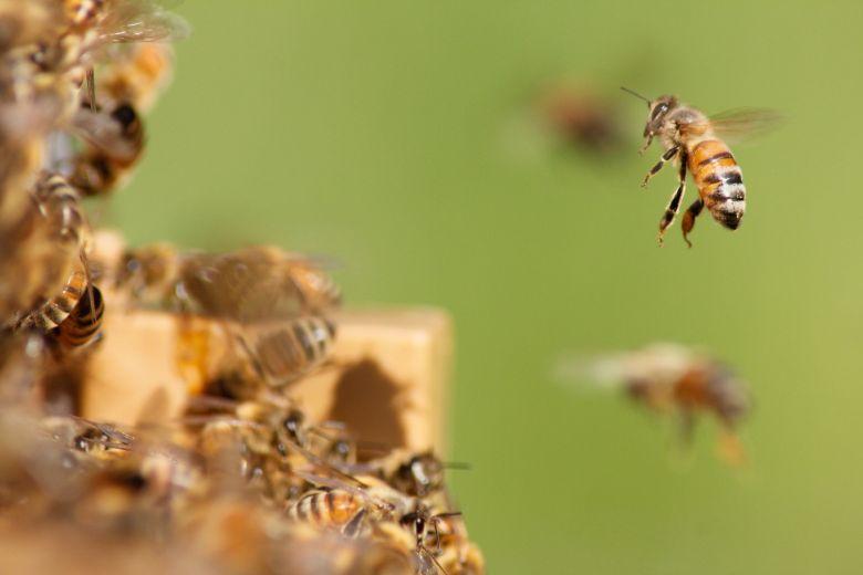 Cara Ternak Lebah Madu untuk Pemula
