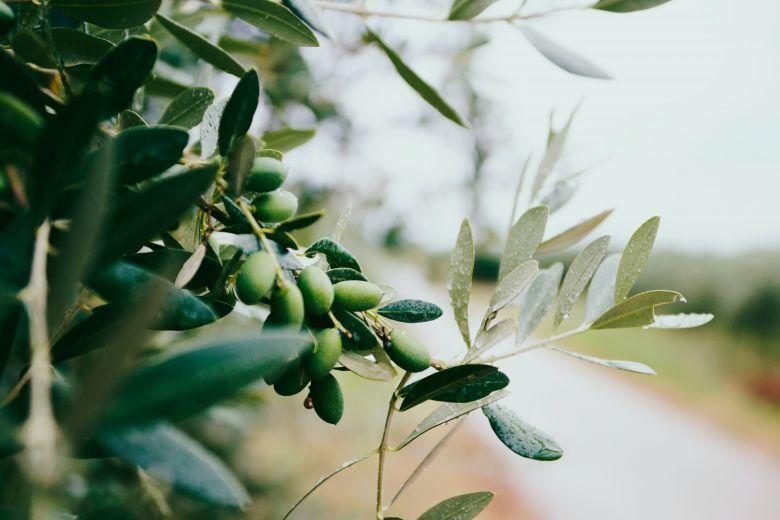 Manfaat Minyak Zaitun Untuk Wajah Berjerawat Dan Kusam